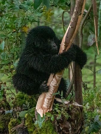 Climbing baby gorilla