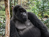 Resting silverback