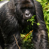 Africa. Rwanda. A silverback, or male mountain gorilla (Gorilla gorilla) at Volcanoes NP, site of the largest remaining group of mountain gorillas in the world.