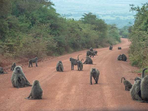 A congress of baboons