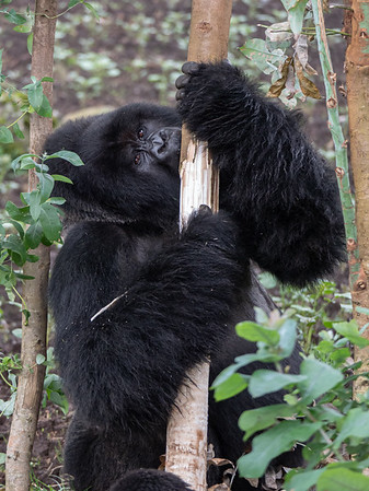 Gorilla eating eucalyptus