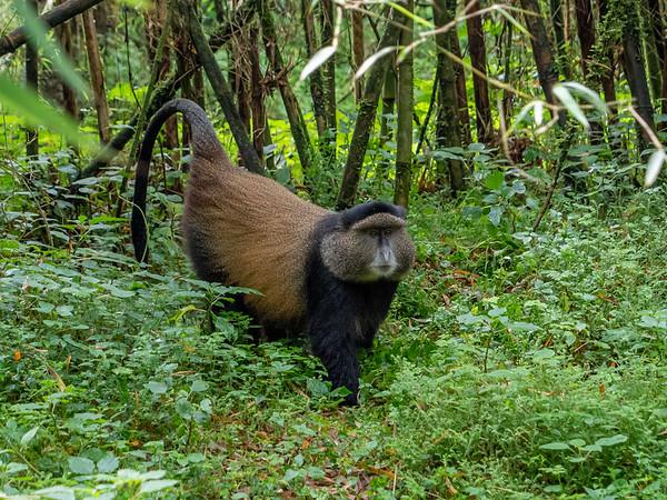 Male golden monkey