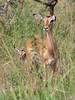 Impala ewe with calf