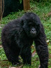 Young gorilla