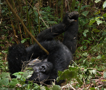 Silverback relaxing