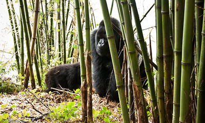 Big silverback gorilla in the bamboo - about 400 pounds !