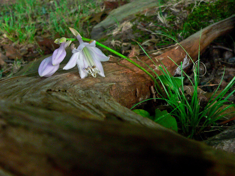 Sleeping Flower on Driftwood at Mayo Lake.