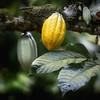 Cacao, Principe, Belo Monte