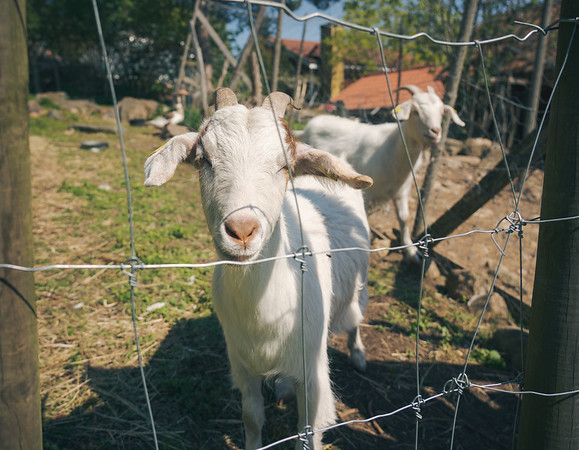 Joint Goats