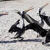 19 Peruvian Pelican-Pelecanus thagus
