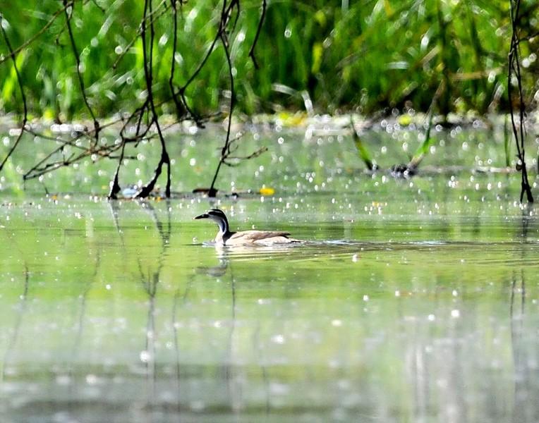 13 Sungrebe-Heliornis fulica