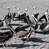 19 Peruvian Pelican-Pelicanus thagus