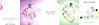 ANGEL SCHLESSER Eau Fraîche Peonía Rosa + Diverse (Bergamota - Madera de Naranjo - Flor de Naranjo) 2017 Spain (5-page foldout format HB) 'Una oda a la peonía rosa - La colección de fragancias frescas - Descubre el eterno frescor'
