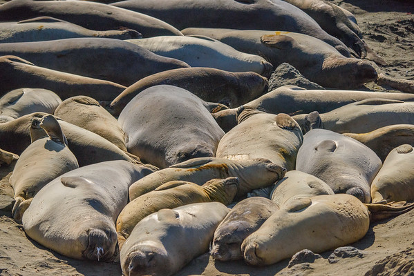 Elephant Seals in the Sun