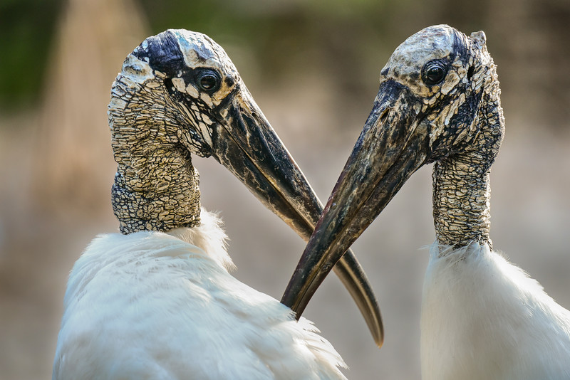 Wood Stork, Pair, Everglades National Park, Florida, USA