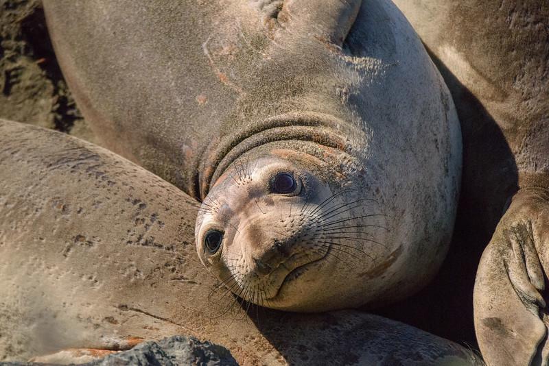 Elephant Seal Smile