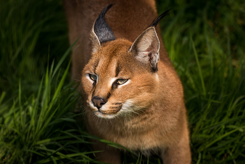 Griffin the Caracal