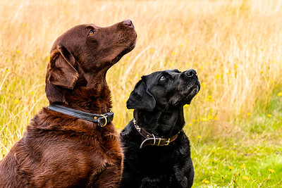 Pair of labradors - Chocolate Brown and a Black Labrador dog staring at their owner on Harpenden Common Hertfordshire taken by MIL Pet Photography