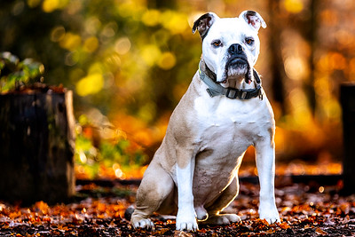 Fawn and white English Old Tyme Bulldog dog taken in Ascot by MIL Pet Photography, edited with the lead removed