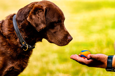 Chocolate Brown Labrador dog staring at his tennis ball on Harpenden Common taken by MIL Pet Photography