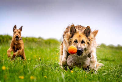 Yellow German Shepherd dog running with his friend chasing a ball directly towards the camera taken by MIL Pet Photography