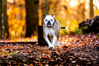 An old English Tyme Bulldog dog In the forest in Autumn taken in Ascot Berkshire by MIL Pet Photography with bokeh