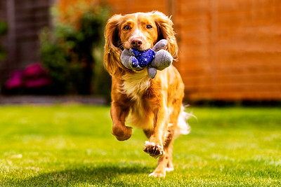 Tan and white working cocker spaniel dog running with her favourite toy, taken in Harpenden Hertfordshire by MIL Pet Photography