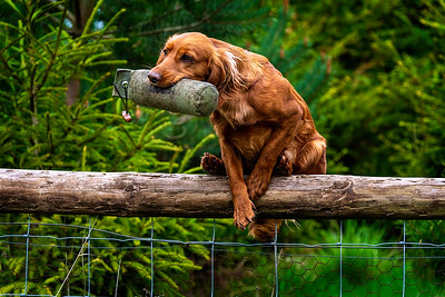 Irish Red Setter retrieving over a fence taken in Oxfordshire by MIL Pet Photography