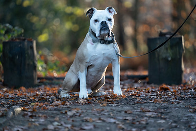 Before edits straight out of the camera with lead image of an English Old Tyme Bulldog dog taken in Ascot by MIL Pet Photography