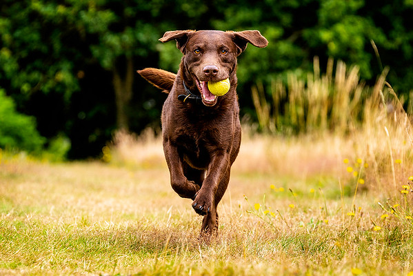 Chocolate Brown Labrador dog with his tennis ball running towards the camera on Harpenden Common taken by MIL Pet Photography