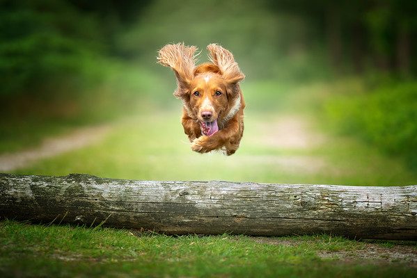 Working cocker spaniel flying over a log