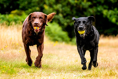Pair of Labradors with a tennis ball - Chocolate Brown and a Black Labrador dog running with their tennis balls on Harpenden Common Hertfordshire taken by MIL Pet Photography