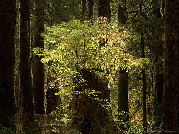 Backlit foliage grows on the stump of a fallen giant in Olympic National Park