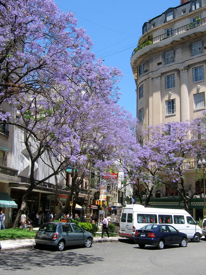 Jackaranda trees in bloom in Buenos Aries, Argentina