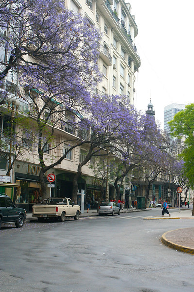 Jacaranda trees line many of the avenues and streets in Buenos Aires.