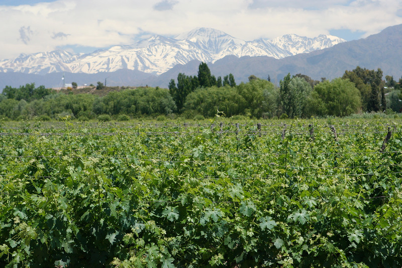 Looking across the vineyards at the Andes Mountains in Mendoza, Argentina