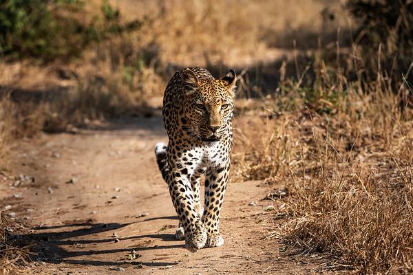 Ntsumi (Angel) on a stroll through Sabi Sands Game Reserve
