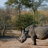 This Rhino weighs more than 5,000 pounds.