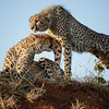 Cheetah stretch and groom.