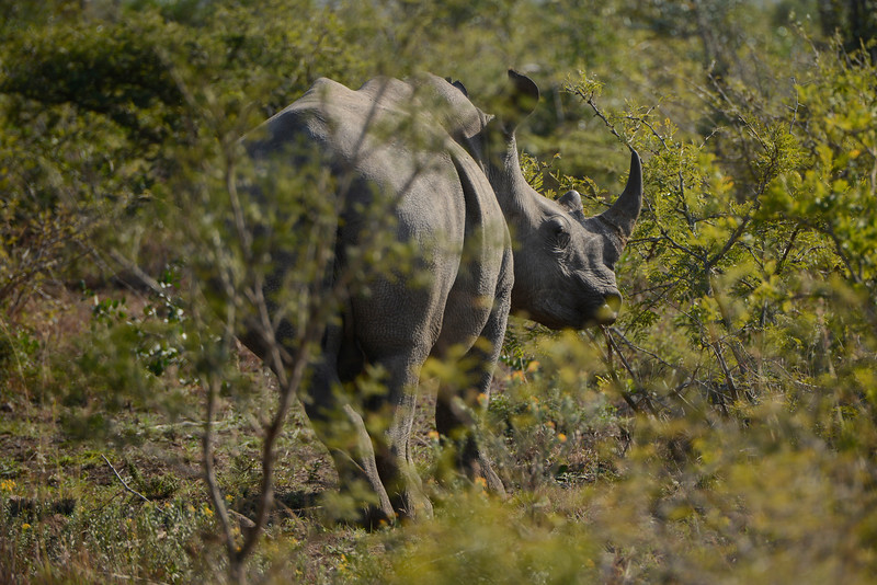 A Rhino watches cautiously.