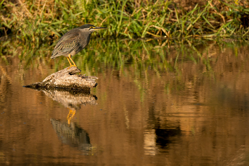 A Green-Backed Heron looks for prey.