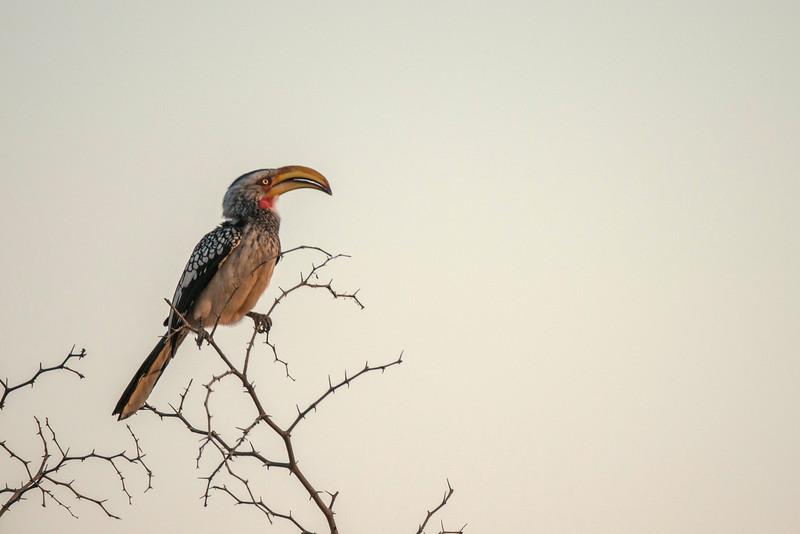 The yellow-billed Hornbill.