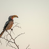 The yellow-billed Hornbill.