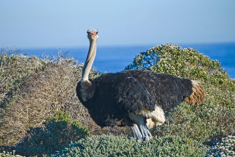 Male ostrich near Capetown.