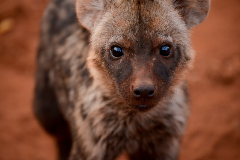 Hyena cub.   Notice the outline of the Range Rover reflected in its eyes.