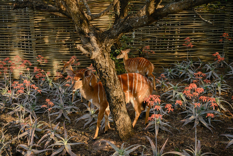 Female Nyala on Phinda grounds.