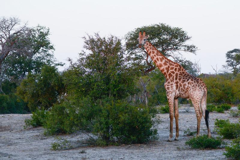Male giraffe.