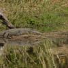 Nile croc.