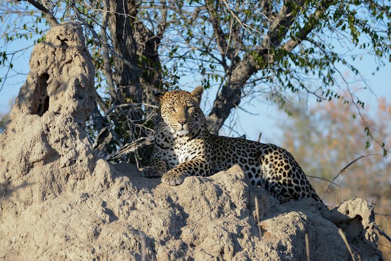 Leopard on a termite mound.