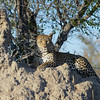 Leopard on a termite mound.